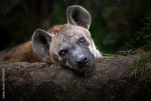Spoed Foto op Canvas Hyena Hyenas is relaxing.