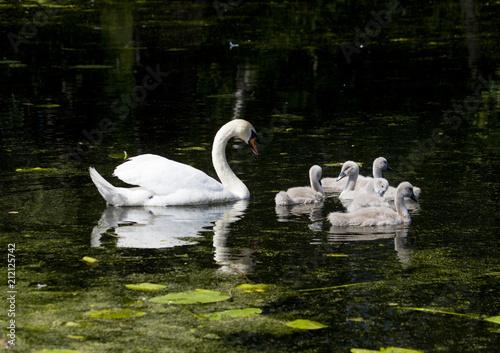 Deurstickers Zwaan Swan family in a pond at Drottningholm, Stockholm