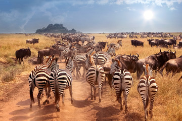 African wild zebras and wil...