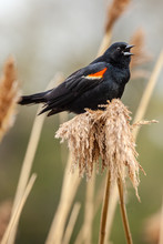 A Singing Red Winged Black Bird On A Tuft Of Swamp Grass.
