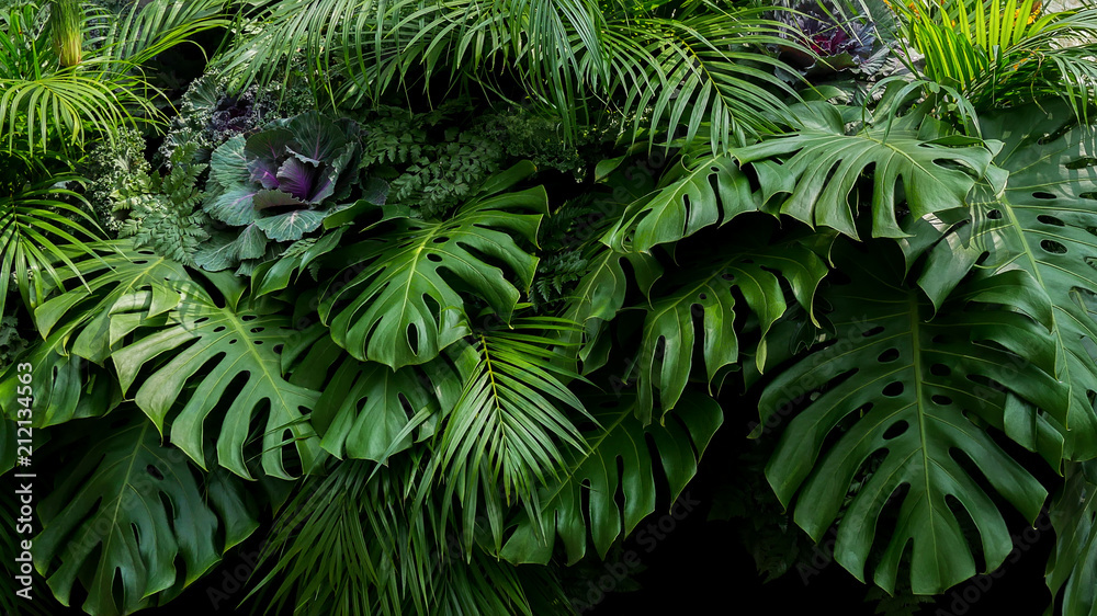 Fototapeta Green tropical leaves of Monstera, fern, and palm fronds the rainforest foliage plant bush floral arrangement on dark background, natural leaf texture nature background.