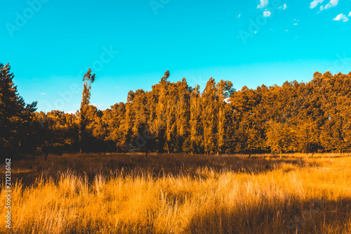 orange cornfield with trees in the background and darken blue sky