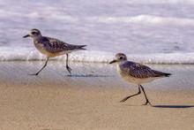 Two Least Sandpipers Walk Alon...