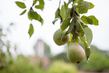 Pear Hanging From A Pear Tree