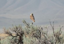 Burrowing Owl Against Mountain...