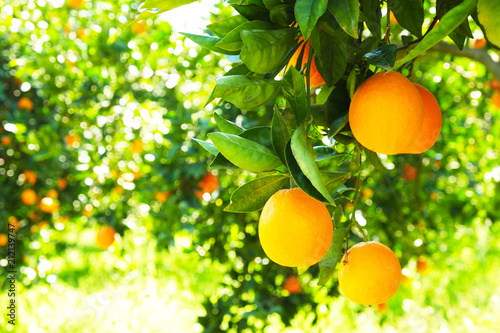 Fototapeta Close up of multiple organic ripe perfect orange fruits hanging on tree branches in local produce farmers garden