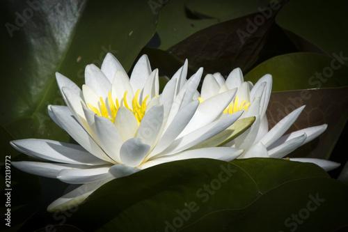 Photo Stands Water lilies Elegant bloom