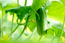 Growing Cucumbers In The Garden