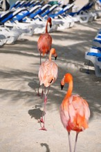 The Flamingo March