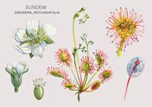Drosera_rotundifolia
