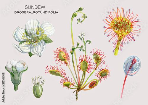Canvas Print Drosera_rotundifolia