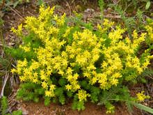 Yellow Sedum Acre In Garden
