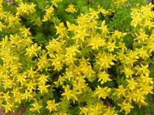 Yellow Flowering Sedum Acre Ba...