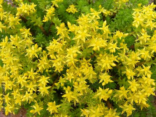 Photo Yellow flowering Sedum acre background texture