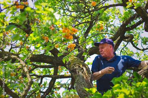 Senior gardener is harvesting ripe apricots from apricot tree Fototapete