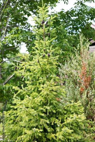 Photo Black spruce, Picea mariana, a North American species of spruce tree in the pine family