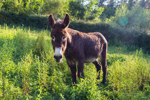 Deurstickers Ezel Portrait of a lovely fluffy donkey, Equus asinus, in the middle of the meadow. In a sunny morning.
