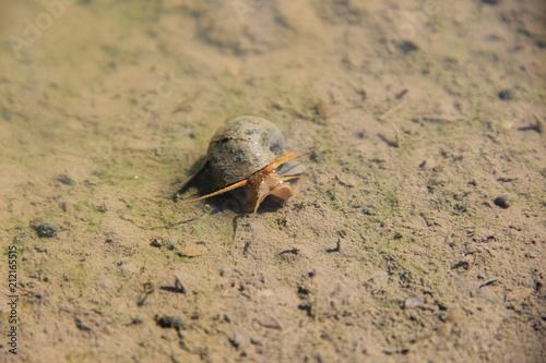 一般的に「ジャンボタニシ」と呼ばれるスクミリンゴガイもしくはラプラタリンゴガイ。水田に棲む要注意外来生物(高知県)