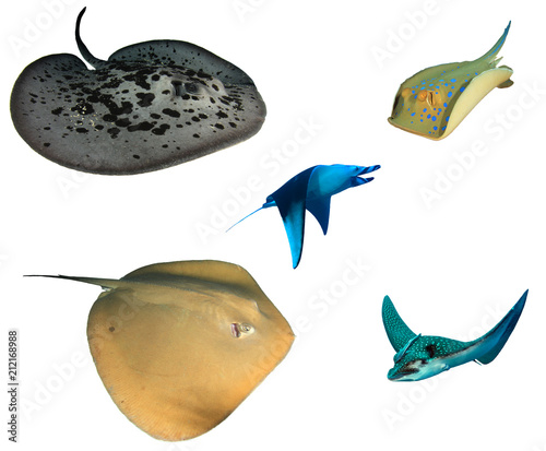 Rays and Stingrays isolated. Marbled, Blue spotted, Jenkin's, Manta and Spotted Eagle Rays on white background