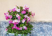 Pink Mandevilla, Rocktrumpet Flowers In A Stone Pot On The Street