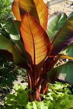 Graceful Giant Canna Plant With Large Colorful Leaves