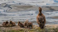 Entenfamilie An Der Alster