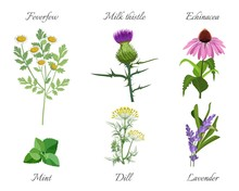 Milk Thistle And Feverfew Medical Herbs Set Vector Illustration