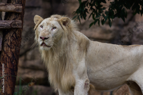 Staande foto Leeuw White lion standing and see