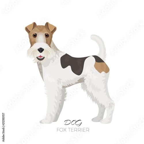 Obraz Fox terrier isolated on white backdrop purebred dog - fototapety do salonu
