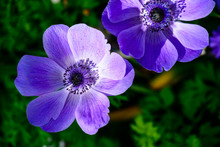 Beautiful Blossom Purple Anemone Flowers