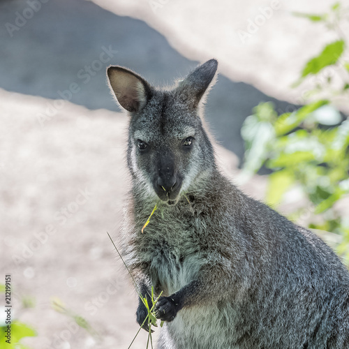 Foto op Canvas Kangoeroe Kangaroo eating grass, portrait