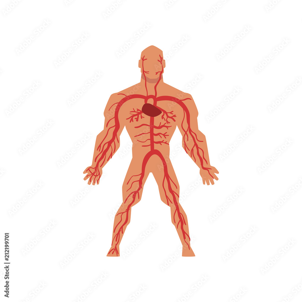 Human Arterial Circulatory System Anatomy Of Human Body Vector