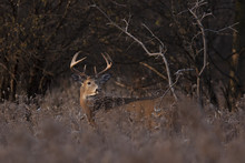 White-tailed Deer Buck Standing In A Meadow In Autumn Rut In Canada