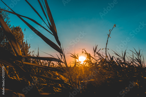 Fototapety, obrazy: stalks of corn with sunlight in the background
