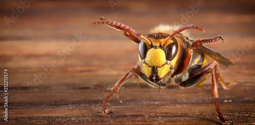 Huge European Hornet. Dangerous predatory insect. Close-up. Fototapet