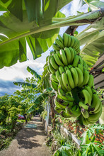 Banana Tree With Bunch Of Growing Green Bananas In Village, Countryside