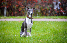Puppy Whippet Sitting On The G...