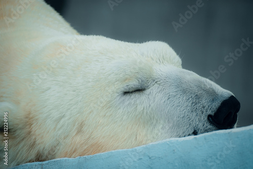 Tuinposter Ijsbeer Portrait of a sleeping polar bear