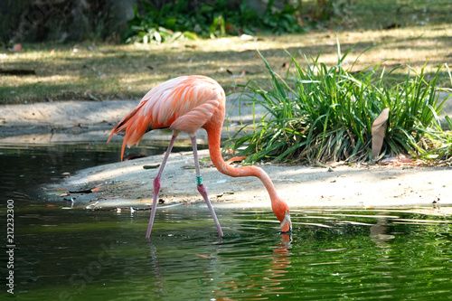 Foto op Canvas Flamingo American flamingo drinking in a pool.