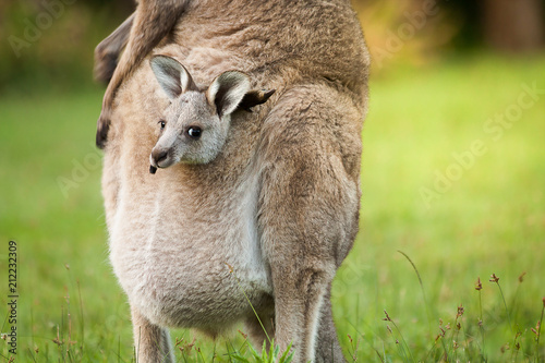 Deurstickers Kangoeroe An Australia wild baby kangaroo in a mom's front bag, close up.