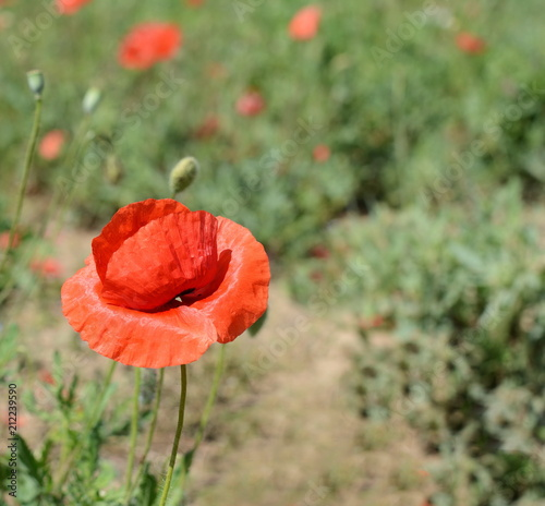 Spoed Foto op Canvas Poppy Papaver rhoeas common names include corn poppy, corn rose, field poppy, Flanders poppy, red poppy, red weed, coquelicot