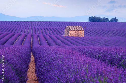 Poster Prune Lavender flower blooming fields in endless rows