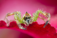 Close-up Of A Mohawk Spider On...