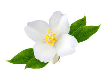 Jasmine Flower With Leaves  Is...