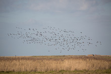 Flock Of Birds In Sky Over Ree...
