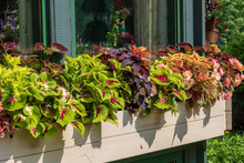 Coleus And Begonias In A Windo...