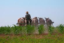 Rear View Of Amish Farmer Work...