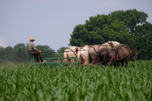 Amish Barefoot Farmer With A Team Of Horses And Mules Working His Corn Field
