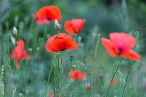 Red poppies field, remembrance day symbol