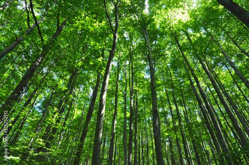 Beech trees green forest environment